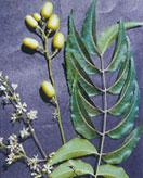 Fleurs, fruits et feuilles du neem ou margousier