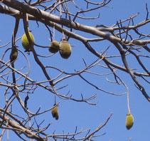 Le fruit du baobab : le pain de singe ou bouye