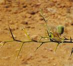 Datte du désert (myrobolan), Fruit du balanites, sump en wolof